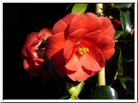 Oki no Nami Red