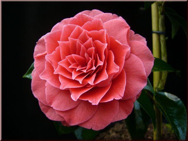Kamelien-24.de - Camellia hybr. Black Lace bei Kamelien-24 ...